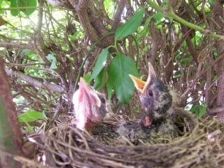 Robin babys