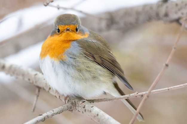 Robin rote brust schneeszene