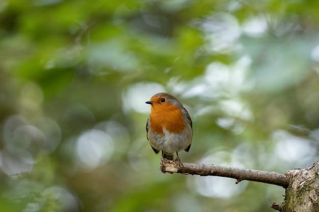 Robin sieht an einem herbsttag wachsam auf einem baum aus
