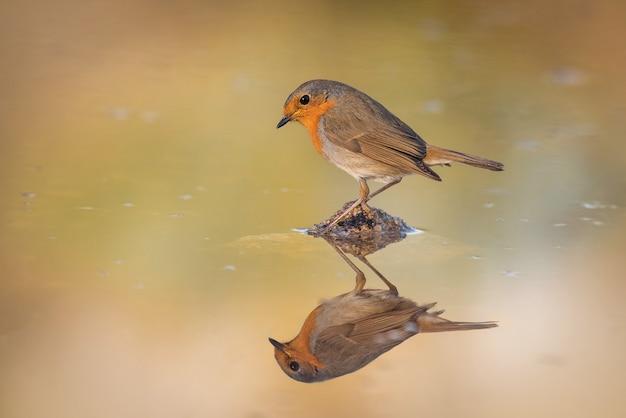 Robin spiegelte sich im wasser des trogs