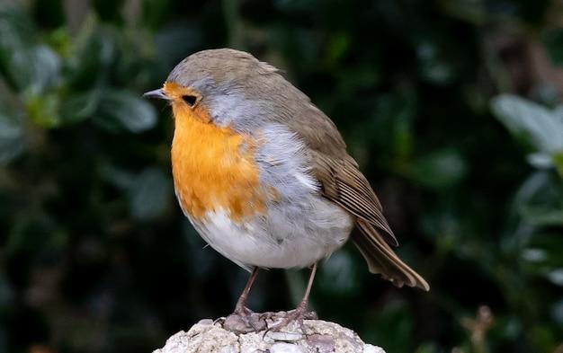 Robin thront auf baumstamm