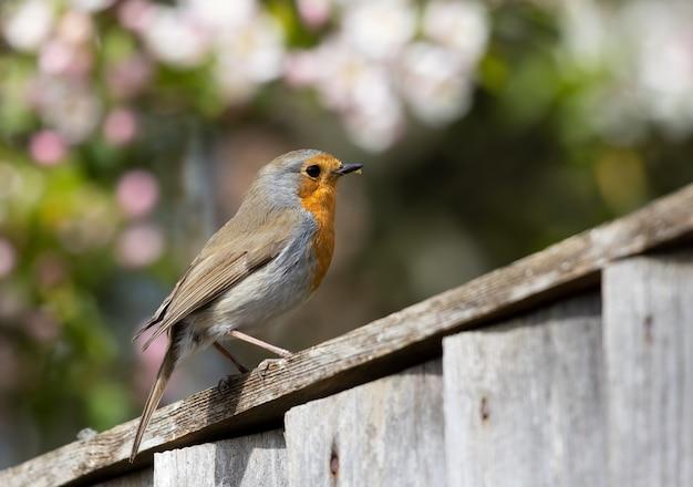 Robin thront auf holzzaun