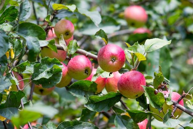 Robuste rote äpfel auf einem baum an einem sonnigen herbsttag