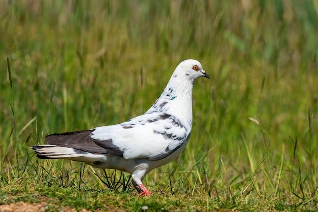 Rock dove, columba livia, steht auf einem gras.