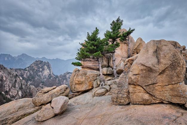 Rock mit kiefern im seoraksan national park, südkorea