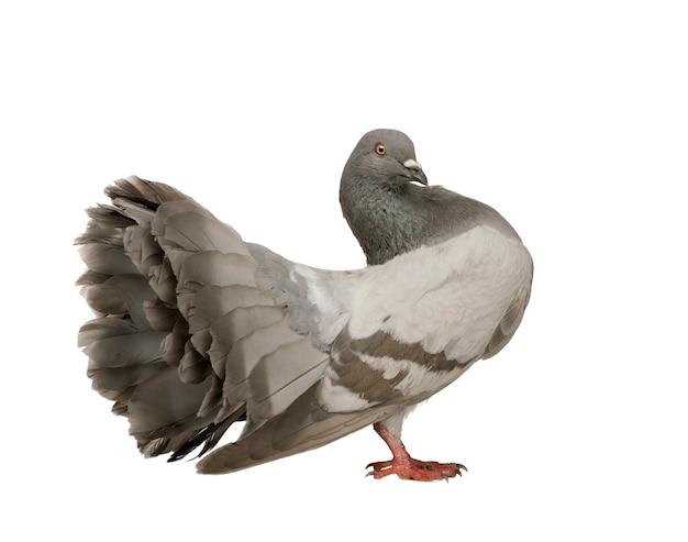 Rock pigeon auf einem weißen isoliert