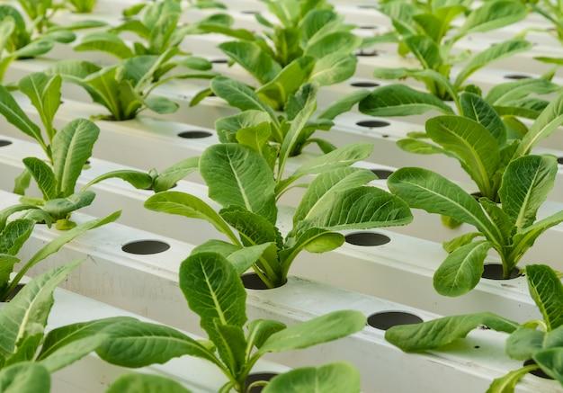 Römersalatplantage im hydroponiksystem