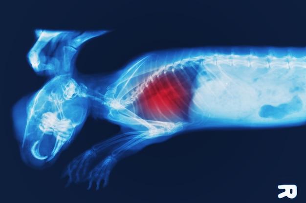 Röntgenbild von hase