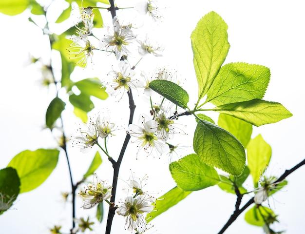 Röntgenkonzept. kirschblüte auf weißem hintergrund. makro und nahaufnahme. bild der vorderansicht