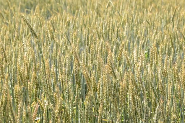 Roggen- oder weizenohren auf einem mit getreide gesäten landwirtschaftlichen feld