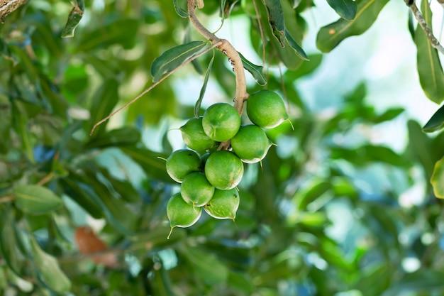 Roh von macadamia integrifolia oder macadamia-nuss, die an pflanze hängen