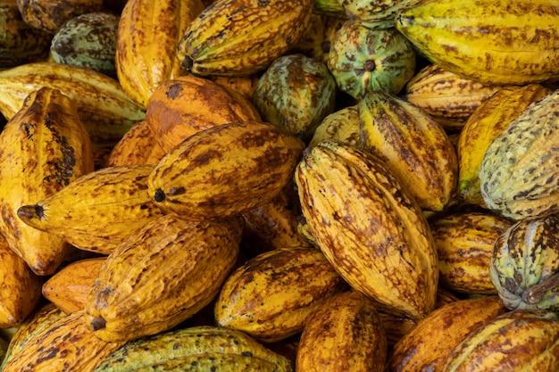 Rohe frische kakaofrucht, kakaofrucht-kakaofrucht-organischer hintergrund.