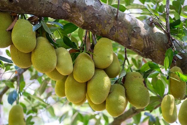 Rohe grüne jackfrucht auf baum
