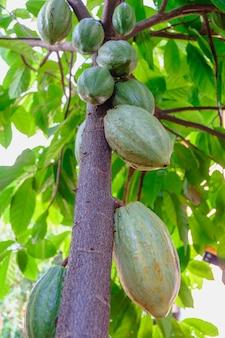 Rohe kakaoschoten und kakaofruchtbäume in der kakaoplantage.