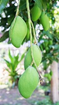 Rohe mango auf einem mangobaum.