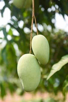 Rohe mango, die am baum hängt