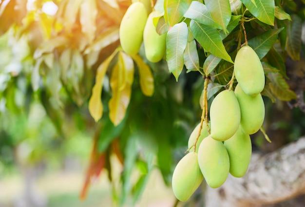 Rohe mango, die auf baum mit blatthintergrund im sommerobstgartenobstgarten hängt. grüner mangobaum
