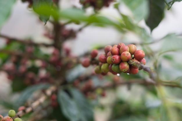 Roher frischer arabikakaffeesamen bereit zur ernte