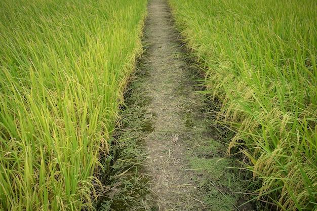 Roher kornreis flog landwirtschaftsanlage in der natur.