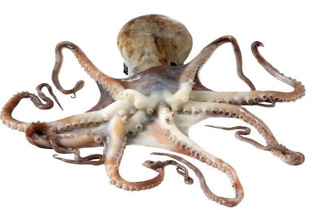 Roher oktopus über weiß
