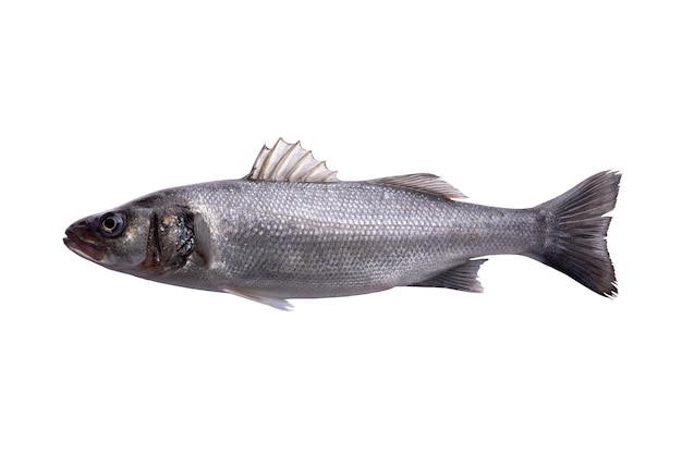 Roher seebarsch, ein frischer seebarschfisch lokalisiert auf weißem hintergrund mit beschneidungspfad