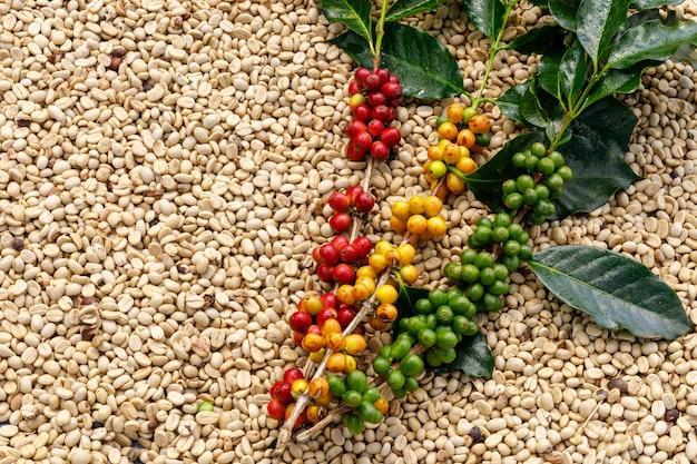 Rohkaffee und grünes blatt mit kaffeetrockenem hintergrund abstrakte draufsicht und kopienraum