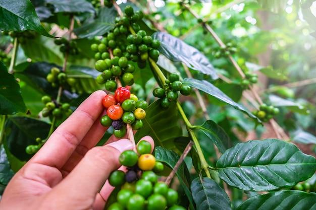 Rohkaffeebohnen von den kaffeebäumen