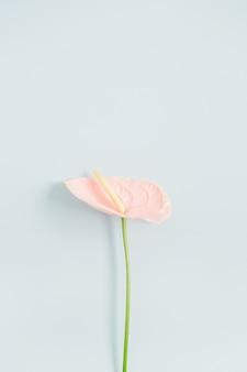 Rosa anthuriumblume lokalisiert auf blassem pastellblauem hintergrund. flache lage, ansicht von oben. blumenkomposition