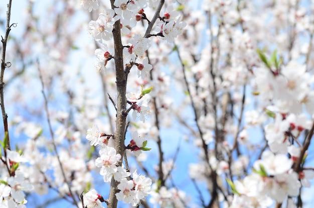 Rosa apfelbaum blüht mit weißen blumen auf blauem himmel