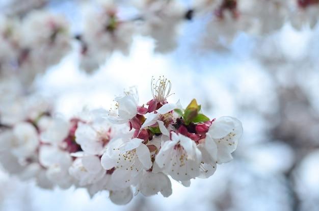 Rosa apfelbaum blüht mit weißen blumen auf hintergrund des blauen himmels