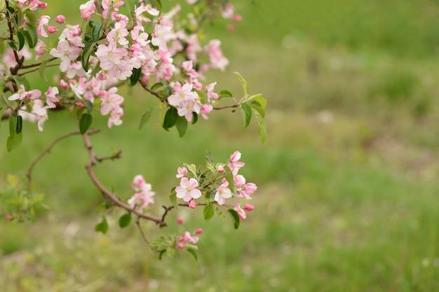 Rosa apfelblüten auf verschwommenem grün. blühender garten.