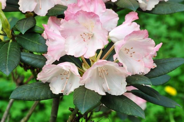 Rosa azaleenblüten in voller blüte mit grünen blättern am busch. tropischer garten im frühjahr. rhododendron-blütezeit im april, mai.