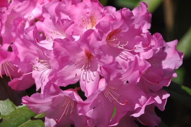 Rosa azaleenblüten in voller blüte