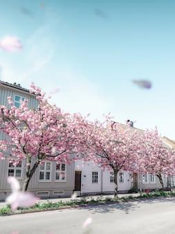 Rosa bäume, die vor weißen häusern blühen