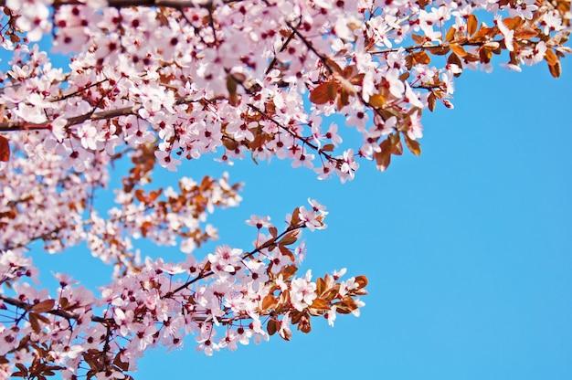Rosa baumblüte auf blauem hintergrund