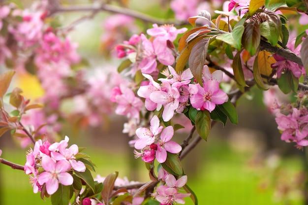 Rosa baumblüte im garten. schöner frühling