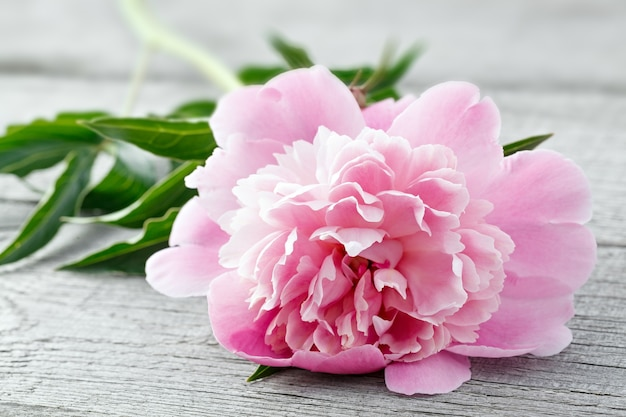 Rosa blühende pfingstrose auf dem hintergrund der alten bretter mit textur. die pflanze wird aus nächster nähe fotografiert.
