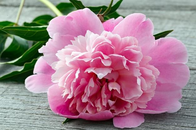 Rosa blühende pfingstrosenblume auf der oberfläche der alten bretter mit textur