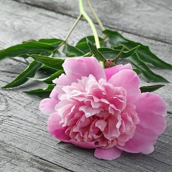 Rosa blühende pfingstrosenblume der alten bretter mit textur. die pflanze wird aus nächster nähe fotografiert.