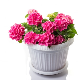 Rosa blühender hydrangea macrophylla oder mophead hortensia in einem blumentopf lokalisiert