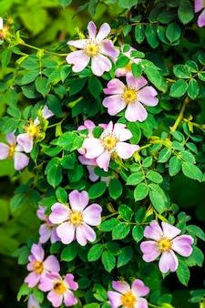 Rosa blüten der heckenrose nahaufnahme auf grüner gartenoberfläche