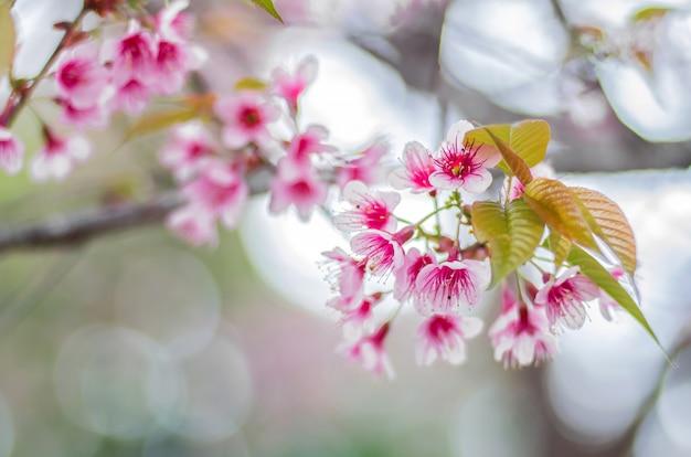 Rosa blüten der wilden himalaya-kirsche