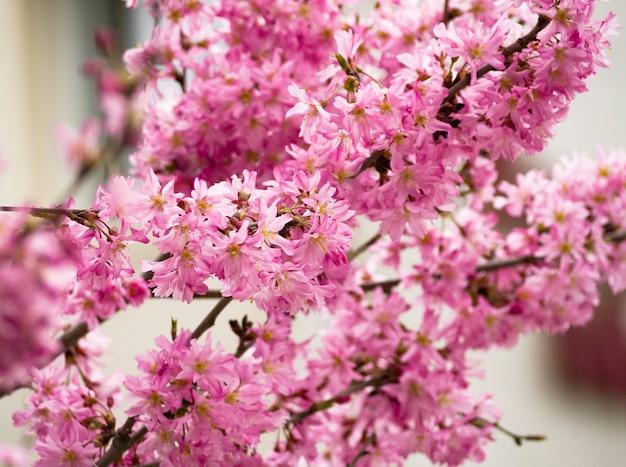 Rosa blüten des sakura-baums natürlicher hintergrund der kirschblüte