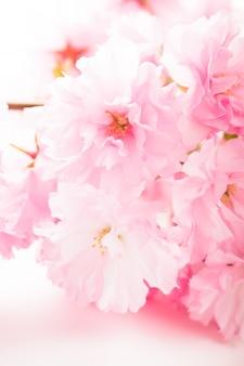Rosa blüten von sakura hautnah auf weiß