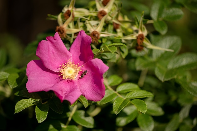 Rosa blume der wilden dogrose mit dem winzigen insekt, das auf blütenblatt auf grünem blatthintergrund sitzt