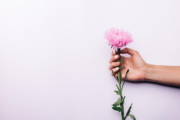 Rosa blume in der weiblichen hand auf einem hellen hintergrund