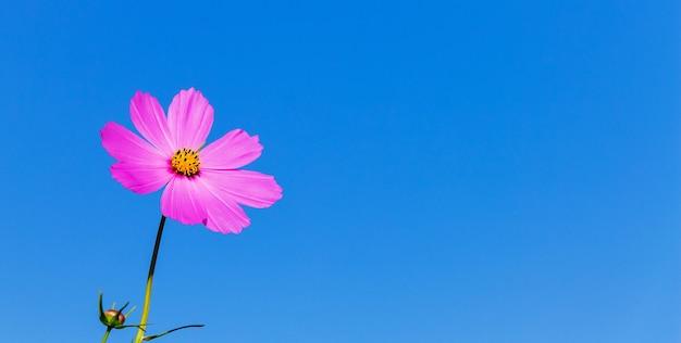 Rosa blume kosmeya gegen einen blauen himmel