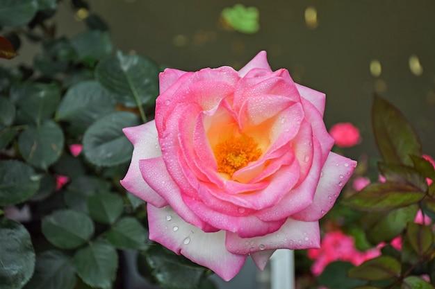 Rosa blume mit gelben in der mitte