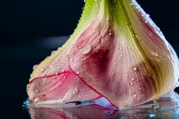 Rosa blume mit wassertropfen über dunkelblauer oberfläche