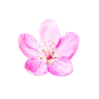 Rosa blume vom kirschblüte-baum lokalisiert auf weißem hintergrund. makro nahaufnahme studioaufnahme